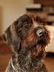 Jackson, chien Épagneul breton
