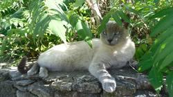 Jackson, chat Siamois