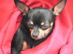 Jackson, chien Chihuahua