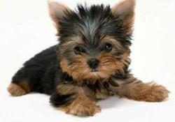 Jackson, chien Yorkshire Terrier