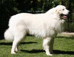 Jackson Au Paradis, chien Chien de montagne des Pyrénées