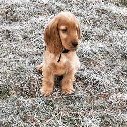 Jacky Boy, chien Cocker anglais