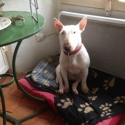Jacob, chien Bull Terrier