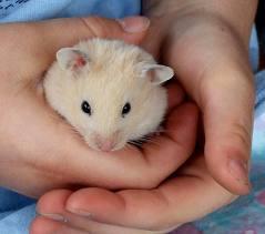 Daisy, rongeur Hamster