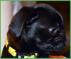 Jacobine, chien Petit brabançon