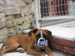 Jacotte, chien Boxer