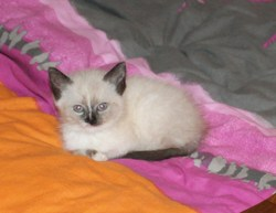 Jacourine, chat Siamois