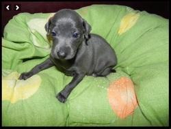 Jade, chien