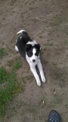 Jade, chien Border Collie