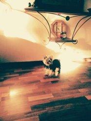 Jade, chien Yorkshire Terrier
