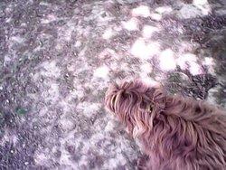 Jade, chien Griffon à poil dur Korthals