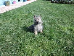 Jade, chien Cairn Terrier