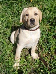 Jade, chien Labrador Retriever