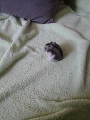 Jade, rongeur Hamster