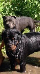 Jade, chien Rottweiler