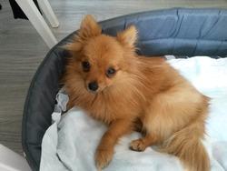 Jade, chien Spitz allemand