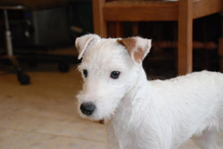 Jade, chien Parson Russell Terrier