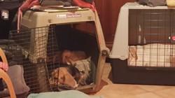 Jade, chien Berger belge
