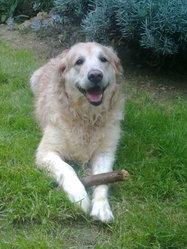 Jade, chien Golden Retriever