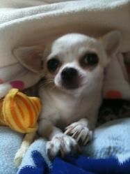 Jade, chien Chihuahua
