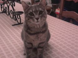 Jade , chat Chartreux
