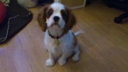 Jade, chien Cavalier King Charles Spaniel