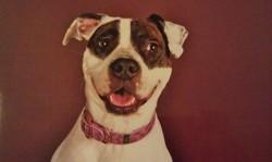 Jade, chien American Staffordshire Terrier