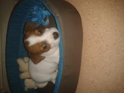 Jade, chien Jack Russell Terrier