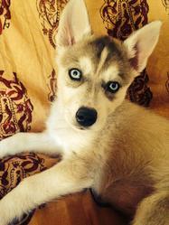 Jade, chien Husky sibérien