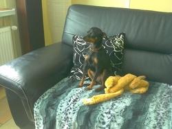 Jade, chien Pinscher