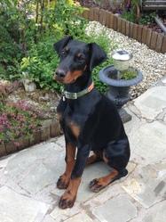 Jade, chien Dobermann