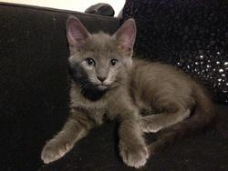 Perla, chat Européen
