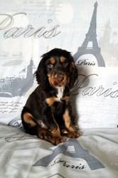 Jade Des Geants Du Bocage, chien Cocker anglais