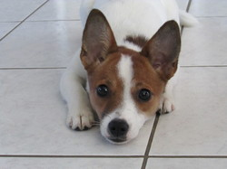 Jaden, chien Jack Russell Terrier