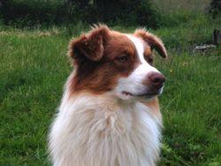 Jaeck, chien Berger australien