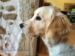 Jaëlle, chien Golden Retriever