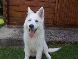 Jaena, chien Berger blanc suisse