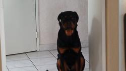 Jafar, chien Rottweiler