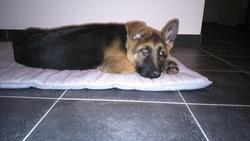 Jafar, chien Berger allemand