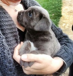 Jager, chien Cane Corso