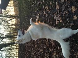 Jager, chien Berger blanc suisse