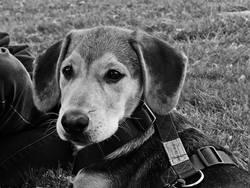 Jagger, chien Beauceron
