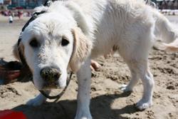 Jagger, chien Golden Retriever