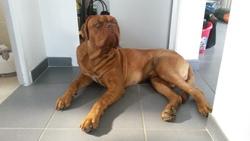 Jagger, chien Dogue de Bordeaux