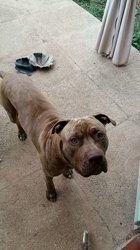 Jagger, chien American Staffordshire Terrier