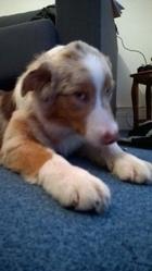 Jagger , chien Berger australien