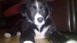 Jagger, chien Border Collie