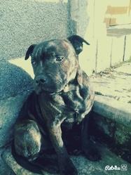 Jagger, chien Staffordshire Bull Terrier