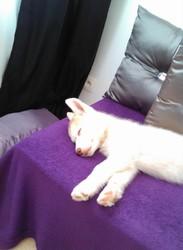 Jaggo, chien Husky sibérien