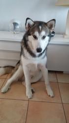 Jagnarr, chien Malamute de l'Alaska